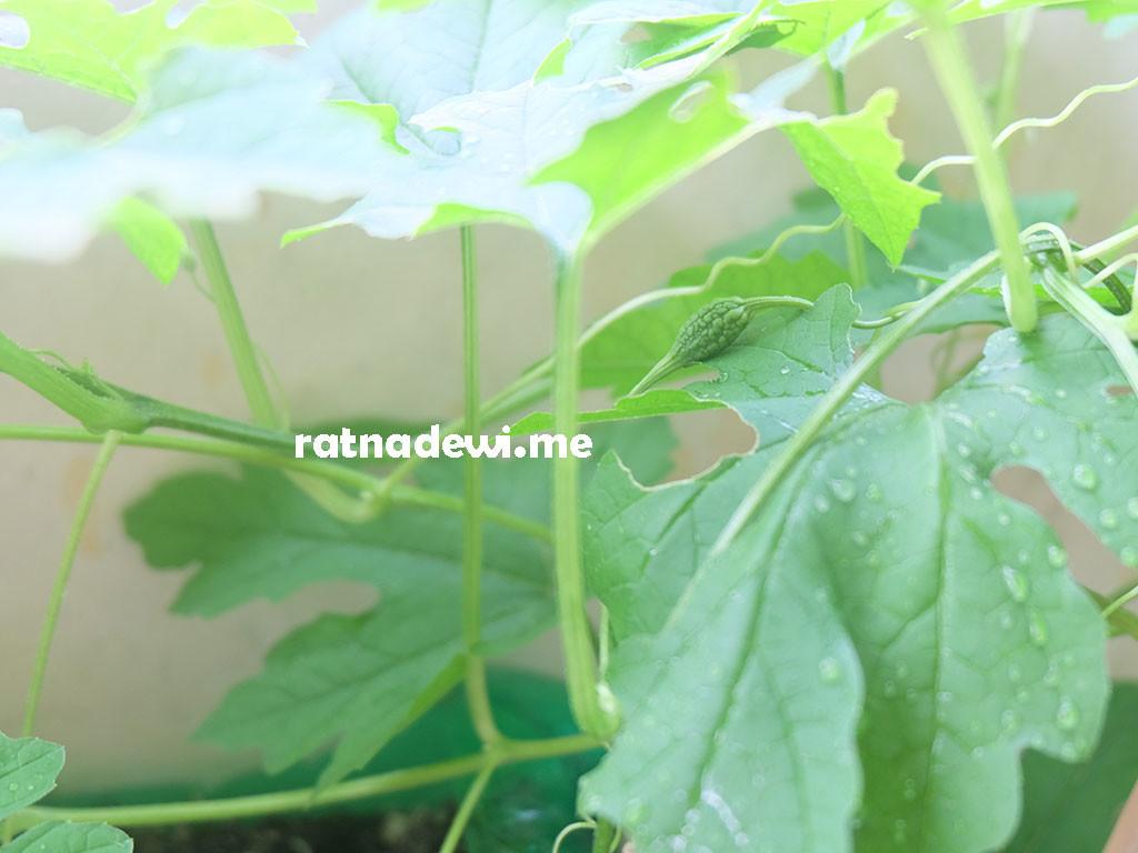 #BahagiaDiRumah itu salah satunya saat lihat tanaman pare yang ditanam sudah mulai berbuah