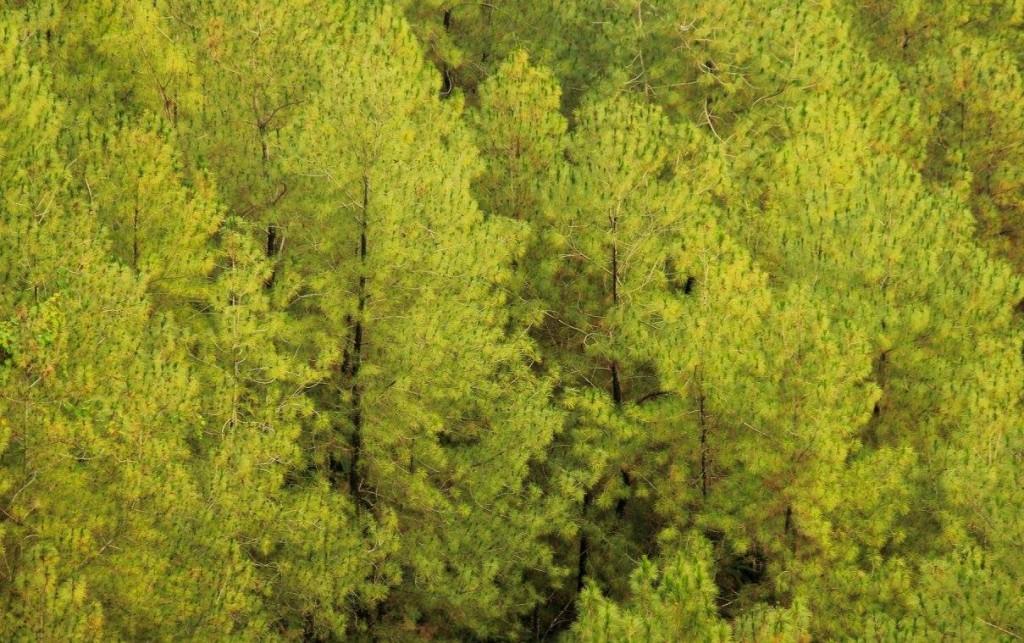 hutan pinus kemiri